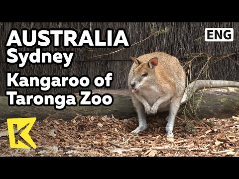 【K】Australia Travel-Sydney[호주 여행-시드니]타롱가 동물원의 캥거루/Taronga Zoo/Kangaroo/Animal/Wallaby/Koala/Wombat