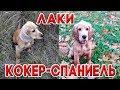 Дрессировка щенка спаниеля Кокер спаниель Лаки учит команду Принеси