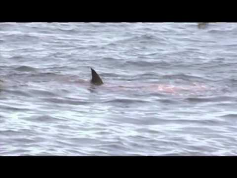 sea lion is attacked by white shark at Farallon Islands