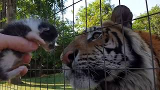 Enzo the tiger reacts to baby kitten !