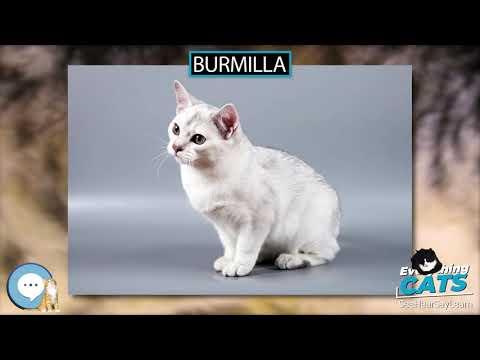 Burmilla  EVERYTHING CATS