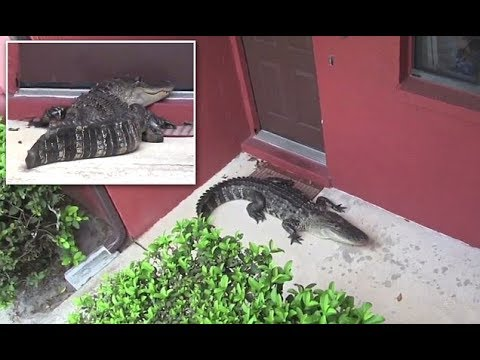 Florida Family Shocked To Find Nine Ft Gator At Their Door Youtube