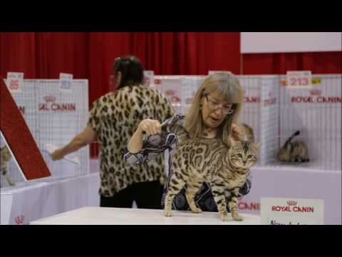 On Safari 2017 Cat Show (TICA)