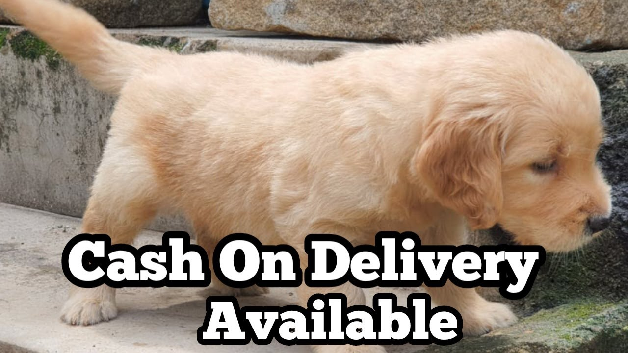 Golden Retriever puppy on Cash On Delivery Available| High quality Golden Retriever puppy for sale|