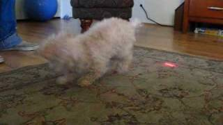 Twinkie The Teacup Poodles Chases Laser Pointer