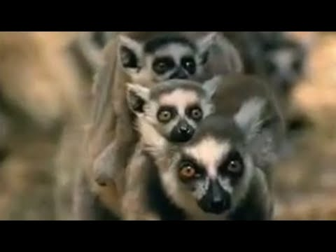 A lemur protecting her babies - BBC wildlife