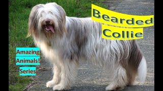 Bearded Collie   Amazing Animals   Pet Dogs