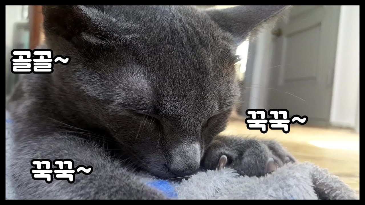 고양이】 러시안블루 고양이는 '이것'만 주면 꾹꾹이를 합니다 (Cat and Daily routine) - YouTube