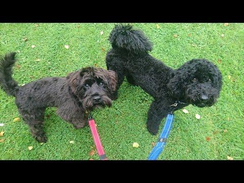 Astro & Rocky - Mini Schnauzer & Mini Poodle - 6 Weeks Residential Dog Training