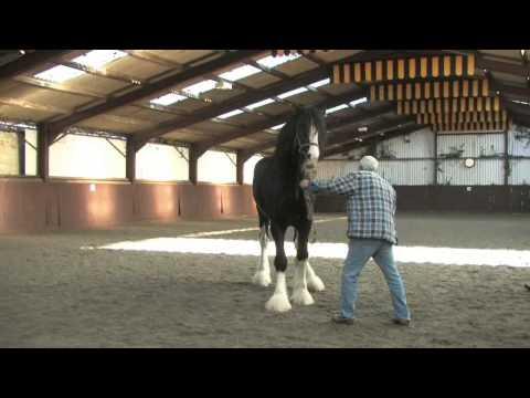 Shire Horse Society International Stallion Inspection