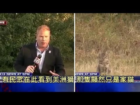 記者報導民眾發現絕種的美洲獅出沒,結果家貓出來湊熱鬧 (中文字幕)