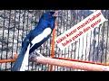 Burung Kacer Gacor Ngeplong Sangat Cocok Buat Dongkrak Kacer Bahan Agar Buka Paruh Gacor  Mp3 - Mp4 Download