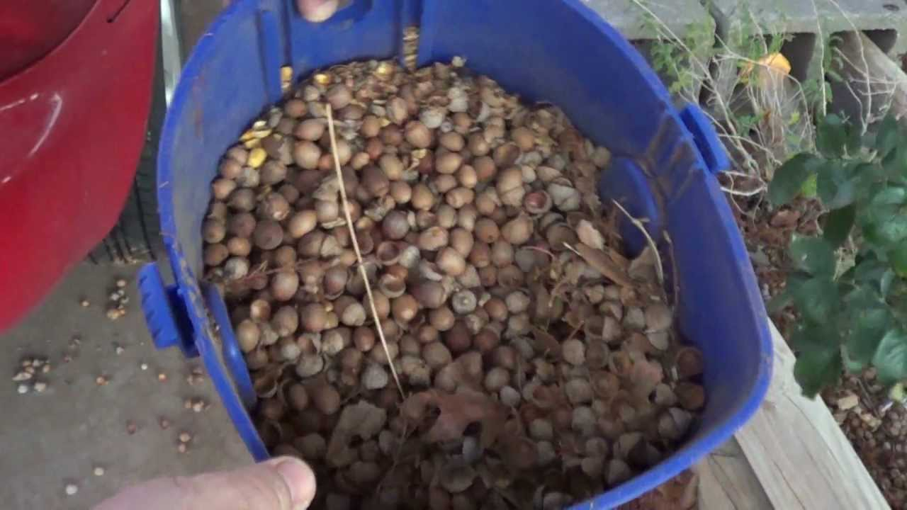 Diy How To Pick Up Acorns You Vacuum Them