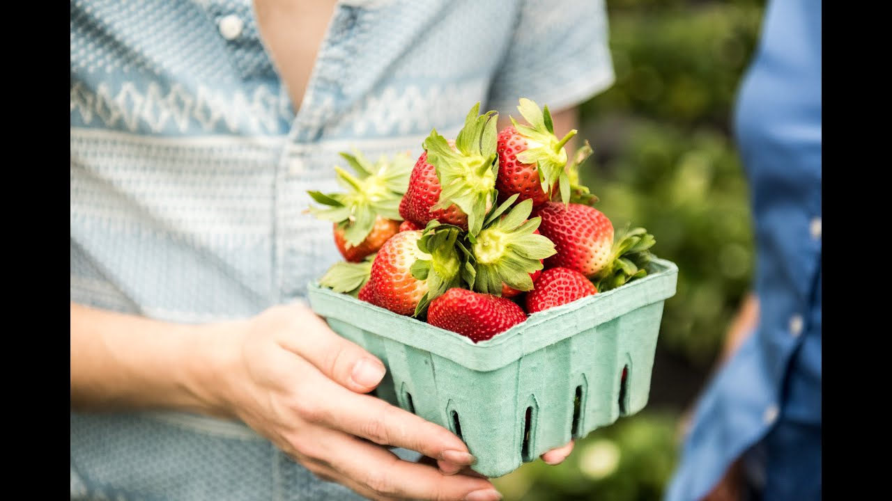 tips for picking fresh strawberries from the field florida strawberry growers association