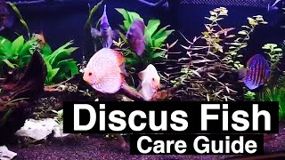 Discus Fish Care - Tank Size, Food, & Prices