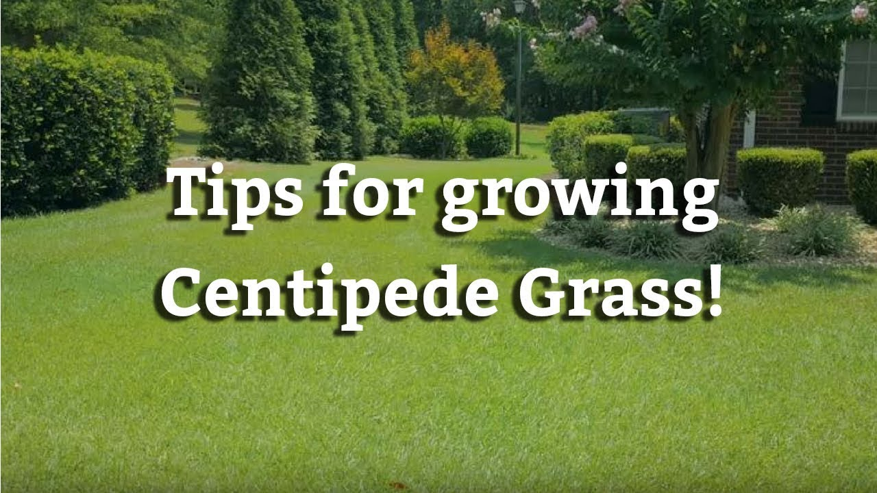 Growing Centipede Gr Warm Season Turf Tips