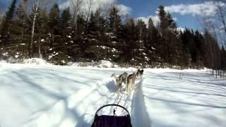 Changing Huskies On The Gangline While Dog Sledding, P.o.v. The Musher