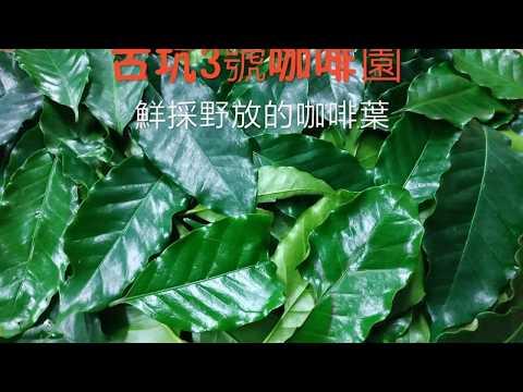 自然農法的 綠原酸咖啡葉茶 手採茶 頂芽 @每包50克,390元@《古坑3號咖啡園》