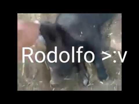 Despierta Rodolfo