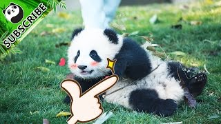 Maybe pandas are made of wondrous innocence and cuteness | iPanda