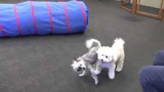 Greenville's Little Dog Rodeo