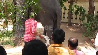 Elephant attack Varkala Temple BY Orange channel Varkala