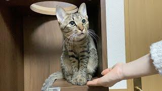 突然「お手!」と言われた猫がこちらですw