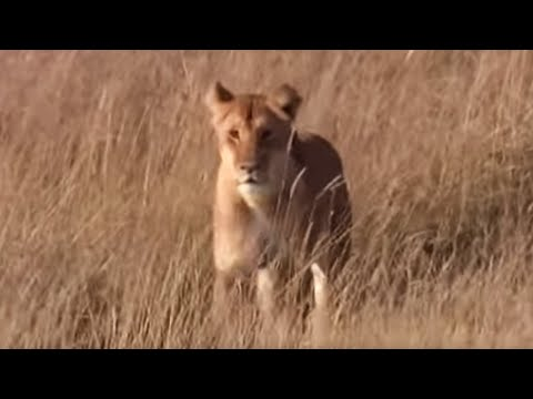 Lioness Protects Her Cubs | BBC Earth