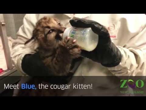 Meet Blue, The Cute Cougar Kitten
