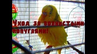 Уход за волнистыми попугаями! Часть 2! Важные моменты при покупке попугая! Покупка попугая! Уход