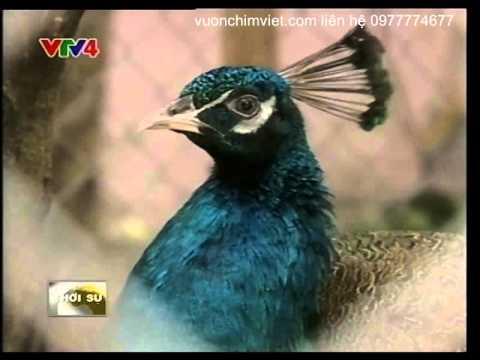 Chim Công xanh,chim công trắng,chim công ngũ sắc,chim công giống các loại độ tuổi