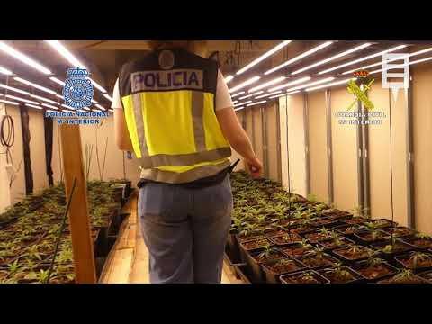 Cae en Yecla una organización dedicada al cultivo intensivo de marihuana