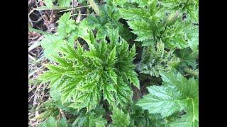 Young Giant Hogweed Identification, Heracleum mantegazzianum