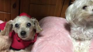 Maltese developed into a quarrel with a pass toy poodle いつもは仲...