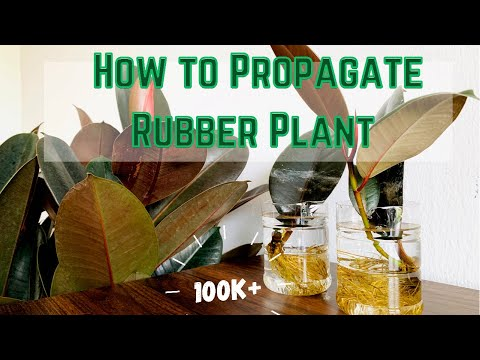How to Propagate Rubber Plant in water  PART I  Propagating rubber plant using a single leaf