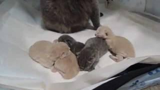 5 tiny British Shorthair kittens being born