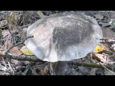 Редкие  грибы  в Подмосковье