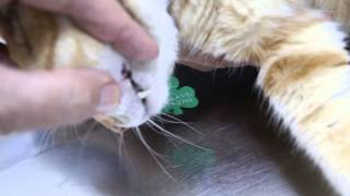 A 2-year-old cat has tooth ache and fever Pt 1