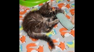 Moo Cat's Feline Finishing School-Tempest Hurricane Plays With His Kicker