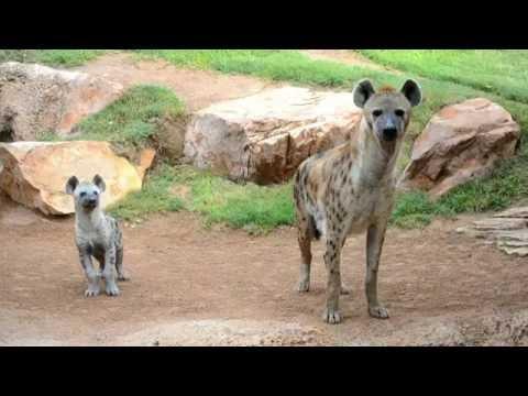 Primer día del cachorro de hiena en la Sabana de BIOPARC (septiembre 2016)
