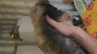 Продажа щенок пекинеса на 08.04.17 возраст 10 недель. Размер МИНИ, окрас серо-палевый.