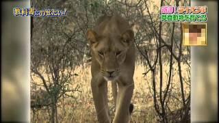 奇跡!ライオンが草食動物を育てる 専門家コメント:あのメスライオンは...