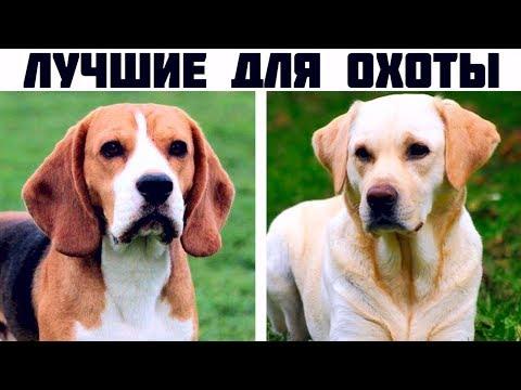 7 Лучших охотничьих пород собак с невероятным нюхом