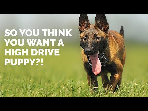 So You Think You Want a HIGH DRIVE Puppy?!