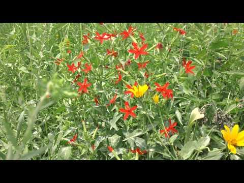 Royal Catchfly - Silene regia in full bloom at Ion Exchange