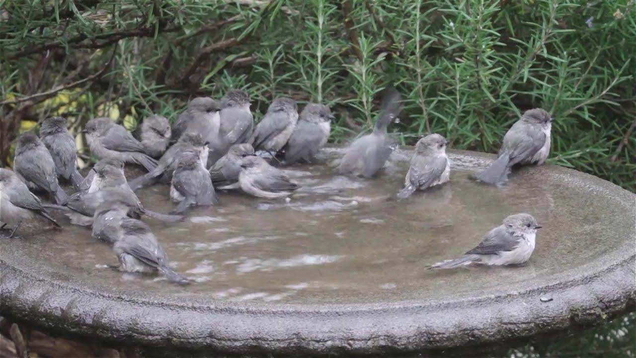 Fall Bird Wallpaper Bushtits Flash Mob The Birdbath Youtube