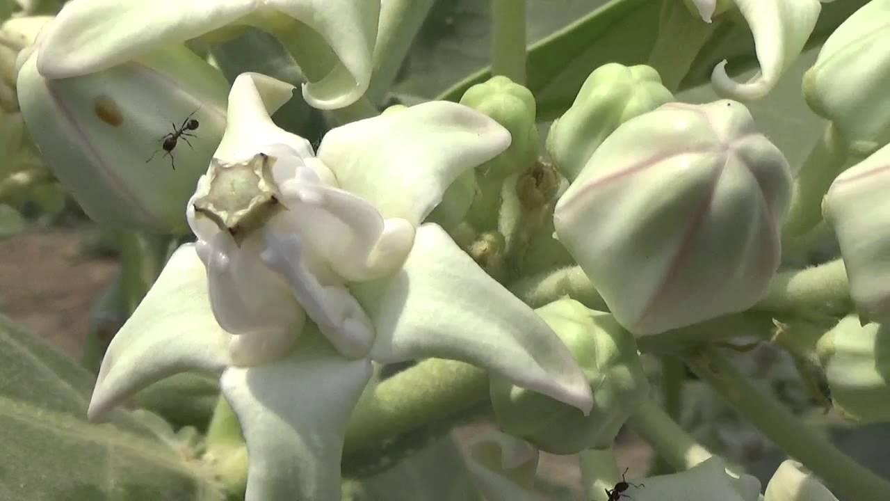 Mandara Ruiwhite Flowersasclepiadaceaemilkweed Family Calotropis