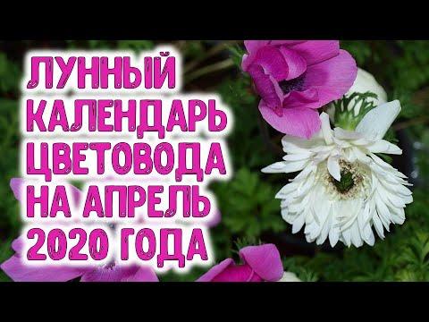 Лунный календарь цветовода на апрель 2020 года. Когда садить ирисы, пионы, лилии, гладиолусы, хризан | цветовода | календарь | горяченко | апрель_2020 | посевной | каледарь | рассада | лунный | цветы | семен