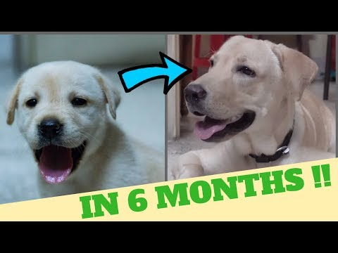Cute Labrador Puppy grows big in 6 months !!