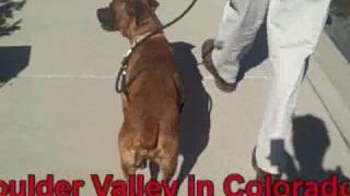 *adopted*  Honey 6041894 Humane Society Adopt Boulder Boxer